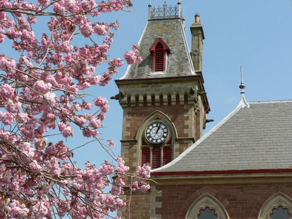 cherry blossom and clock tower
